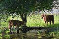 Citadelle Vauban Lille Highland cattles 2016a 01.jpg