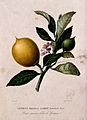 Citron (Citrus medica L.); flowering and fruiting stem. Colo Wellcome V0043083.jpg