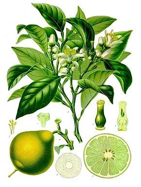 LES FRUITS COMMENÇANT PAR B 290px-Citrus_bergamia_-_Köhler–s_Medizinal-Pflanzen-184
