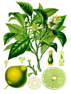 Bergamot orange - Image: Citrus bergamia Köhler–s Medizinal Pflanzen 184