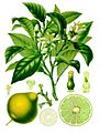 Citrus bergamia - Köhler–s Medizinal-Pflanzen-184.jpg