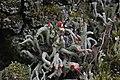 Cladonia sp. (35724040131).jpg