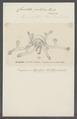 Clavatella prolifera - - Print - Iconographia Zoologica - Special Collections University of Amsterdam - UBAINV0274 111 12 0002.tif