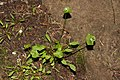 Claytonia perfoliata 6629.JPG