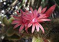 Cleistocactus winteri 1.jpg