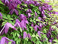 Clematis alpina 'Tage Lundell'.jpg