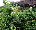 Climbing rose Clavering Essex England cropped.jpg