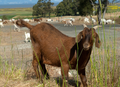 Close-up View of Goat (5716218365).png