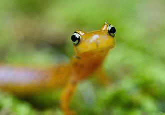 Brook salamander - Eurycea longicauda