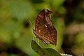 Close wing Basking posture of Junonia iphita (Cramer, 1779) – Chocolate Pansy (Dry Season Form) WLB DSC 7840.jpg