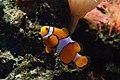 Clownfish in Artis (2130826494).jpg