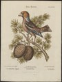 Coccothraustes vulgaris - 1700-1880 - Print - Iconographia Zoologica - Special Collections University of Amsterdam - UBA01 IZ16000301.tif