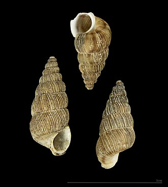 Jean-Baptiste Noulet - Image: Cochlostoma nouleti MHNT.ZOO.2005.290