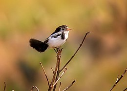 Cock-tailed Tyrant (Alectrurus tricolor) perched.jpg