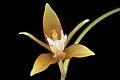Coelogyne candoonensis (Philippines) Ames, Schedul. Orchid. 6- 18 (1923) (34800285350).jpg