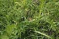 Coenonympha arcania, Lorry - img 29383.jpg