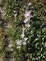 Colchicum autumnale clump.jpg