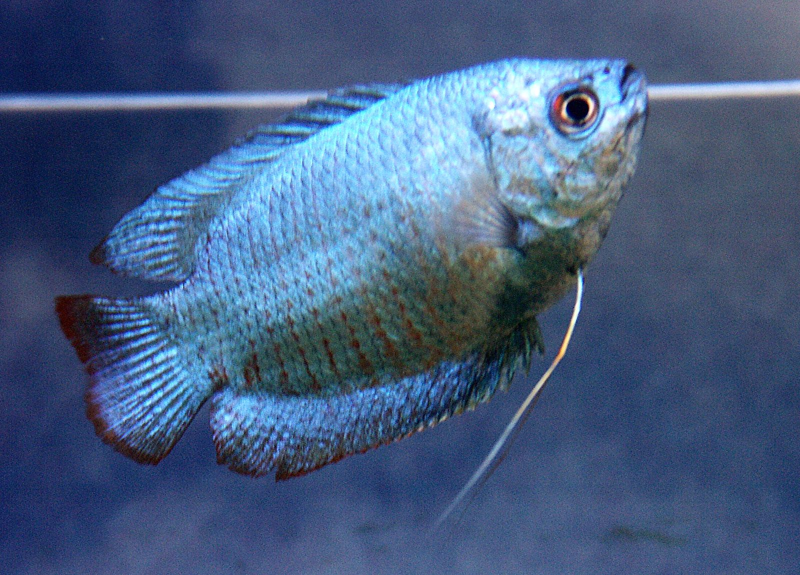 neon blue dwarf gourami - 800×600