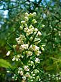 Colletia paradoxa 002.JPG