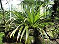 Collospermum hastatum - Palmengarten Frankfurt - DSC01877.JPG