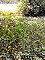 Colocasia esculenta in Bangladesh.jpg