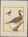 Columbula dominicensis - fictieve vogel - 1700-1880 - Print - Iconographia Zoologica - Special Collections University of Amsterdam - UBA01 IZ15600445.tif