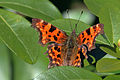 Comma butterfly (Polygonia c-album).JPG