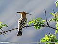 Common Hoopoe (Upupa epops) (24769921927).jpg