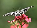 Common Mime - Papilio clytia (dissimilis form) on Jatropha panduraefolia in Kolkata Iws IMG 0252.jpg