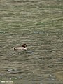 Common Pochard (Aythya ferina) (20497073660).jpg