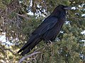 Common Raven (Corvus corax) RWD.jpg