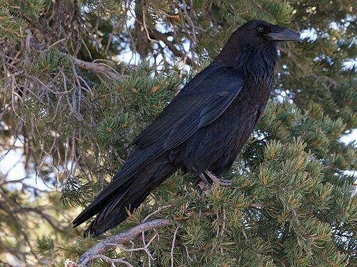 Common Raven (Corvus corax) RWD