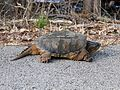 Common Snapping Turtle (Chelydra serpentina) - Flickr - GregTheBusker.jpg