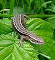 Common lizard (Zootoca vivipara), Sandy, Bedfordshire (7368650068).jpg