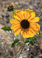 Common sunflower Helianthus annuus.jpg