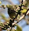 Coppersmith Barbet (Megalaima haemacephala) feeding on Ficus religiosa W IMG 8198.jpg