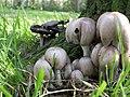 Coprinopsis atramentaria, Coprin noir d'encre.jpg