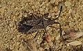 Coriomeris scabricornis adult.jpg