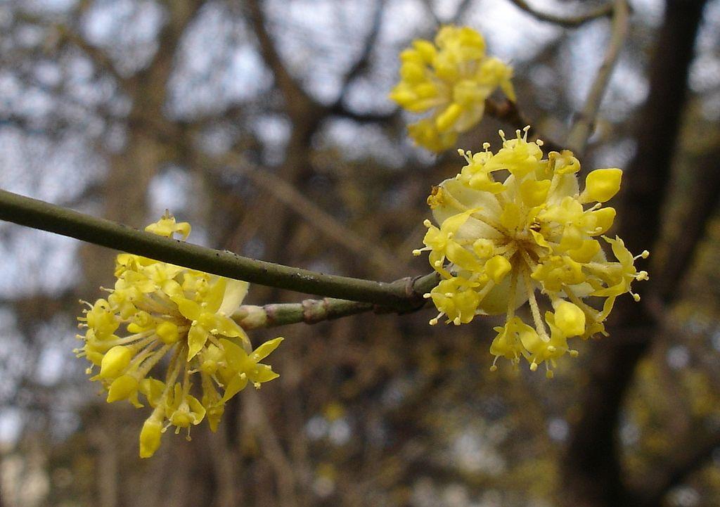 fleurs du cornouiller mâle