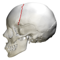 Coronal suture - skull - lateral view01.png