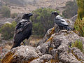 Corvus albicollis on Kilimanjaro.jpg