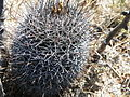 Coryphantha species (5722733055).jpg