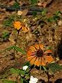 Cosmos bipinnatus(2).jpg