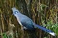 Coua cristata (Hauben-Seidenkuckuck - Crested Coua) - Weltvogelpark Walsrode 2013-08—130718 0206.jpg