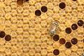 Couvain operculé d'abeille.JPG