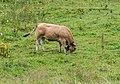 Cow near Lac de Vallon (1).jpg