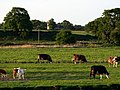 Cows on field - geograph.org.uk - 453837.jpg