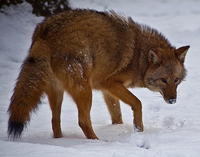 File:Coyote-face-snow - Virginia - ForestWander.jpg