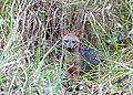 Crab-eating Fox (Cerdocyon thous) - Flickr - berniedup.jpg