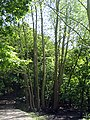 Crack Willow (Salix fragilis) - geograph.org.uk - 1349362.jpg